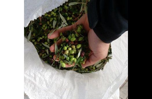 olives for olive oil
